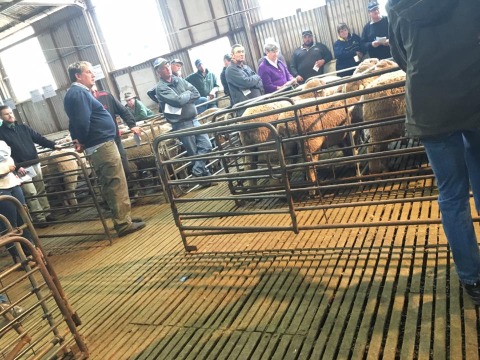 Narcoota Poll Merino Stud - Ram Sale in Progress 2