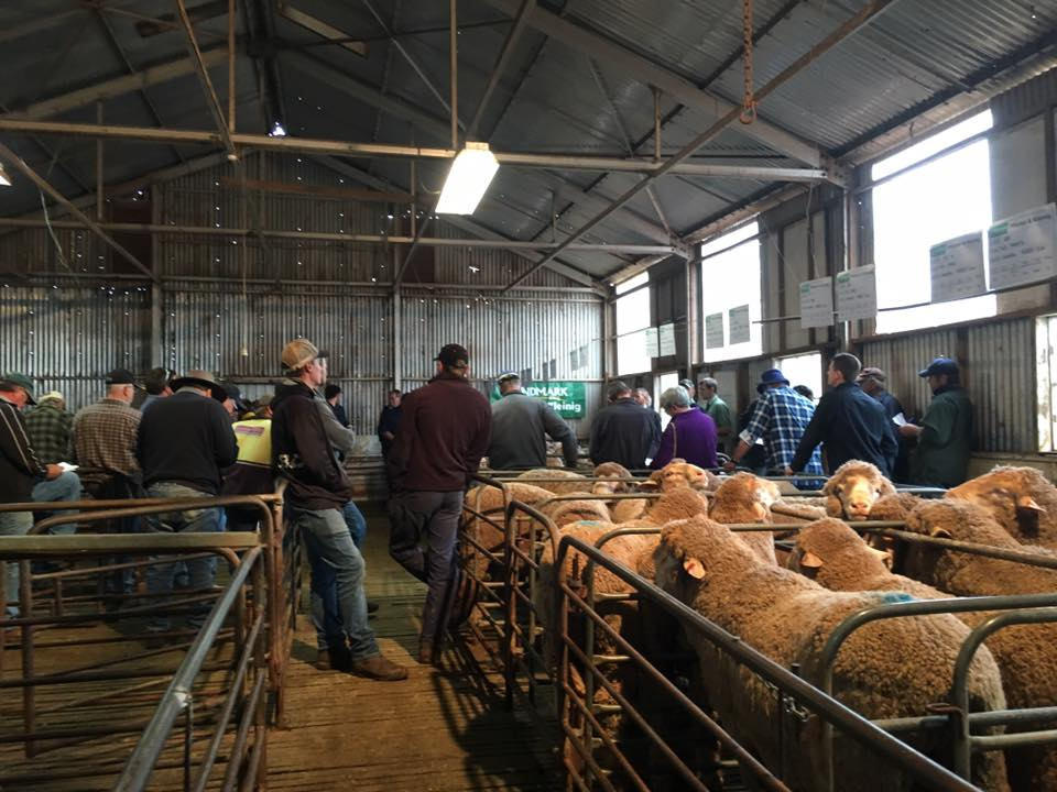 Narcoota Poll Merino Stud - Ram Sale in Progress